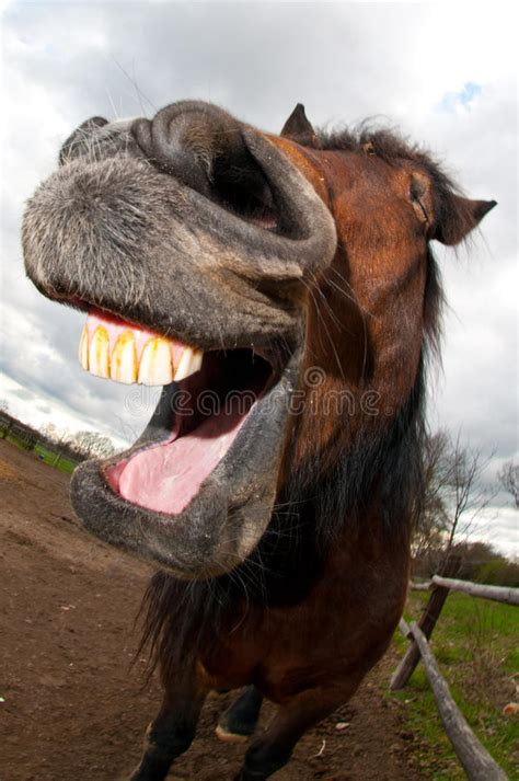 horse laughing stock image image  brown smile