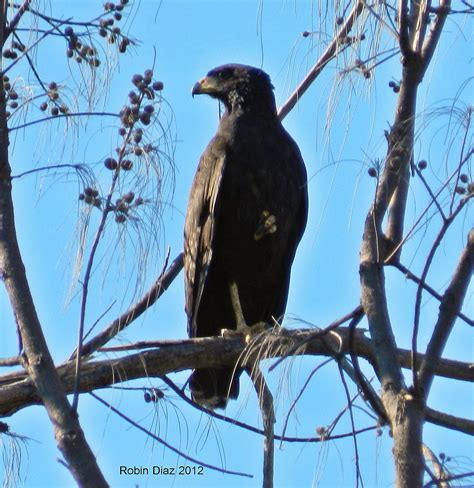 virginia key great black hawk tropical audubon society