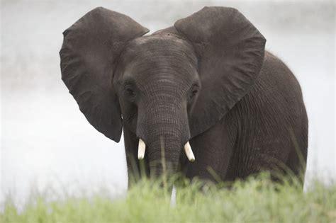 elephant elephants national florida sanctuary zoo fat opens fellsmere displaced center community roams animals acre compound fla near through operated