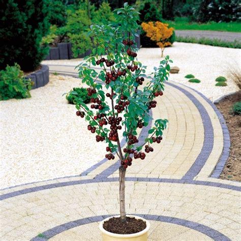 fruit trees  pots varieties  fruits