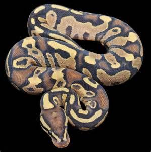 Fire Yellow Belly Ball Python