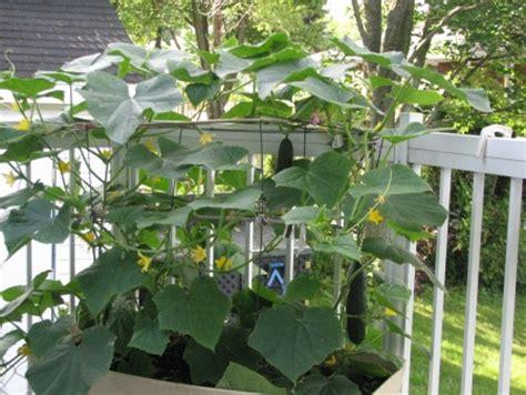 jardinage net afficher le sujet potager en pots gt montr 233 al