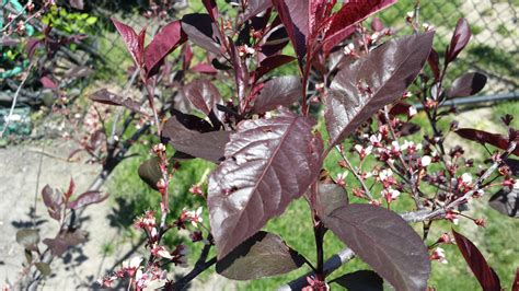 purple leaf trees identification identification what is this shrub in my garden gardening landscaping stack exchange