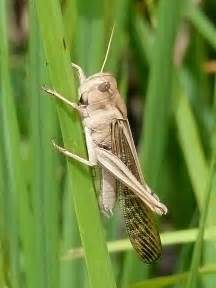 African Migratory Locust