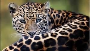 Jaguar Cat Wallpaper Hd   www.imgkid.com - The Image Kid ...