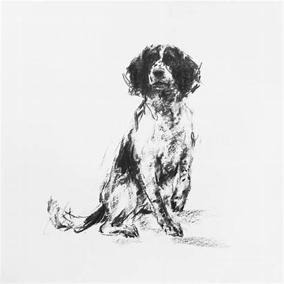 Springer Spaniel Drawing Sketch Charcoal Field Dog