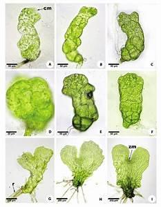 Gametofitos Laminares De Gleicheniaceae   A  Dicranopteris