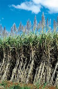 Mature sugarcane crop, Atherto - CSIRO Science Image ...