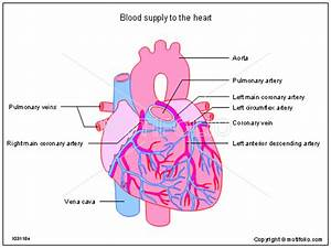Blood Supply To The Heart Illustrations
