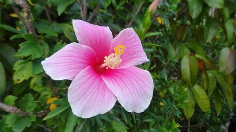 ดอกไม้: ดอกชบา