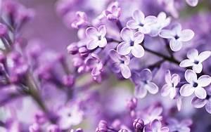 spring, purple, flowers, wallpapers