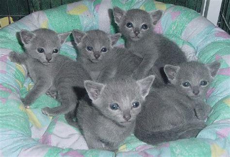 russian blue cat price registered russian blue kittens dubai uae free