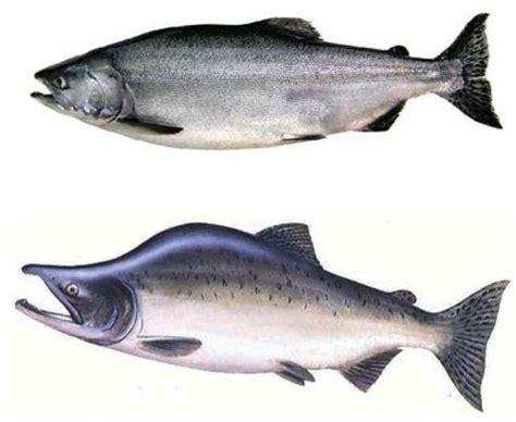 alaska salmon runs types  salmon