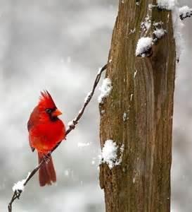 Winter Cardinal Bird Snow