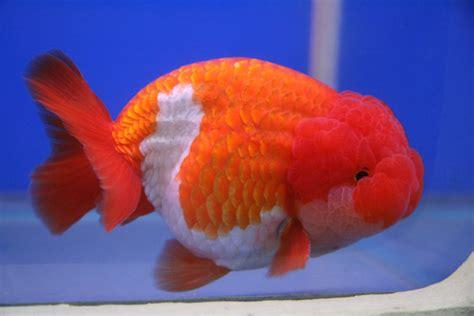 Jual Bibit Ikan Bawal Di Bandar Lung jogja fish jual ikan koki