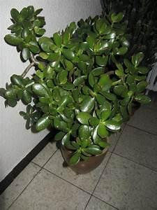 Chinesischer Geldbaum Kaufen : gro e zimmerpflanzen drachenbaum monstera u a in ~ Michelbontemps.com Haus und Dekorationen