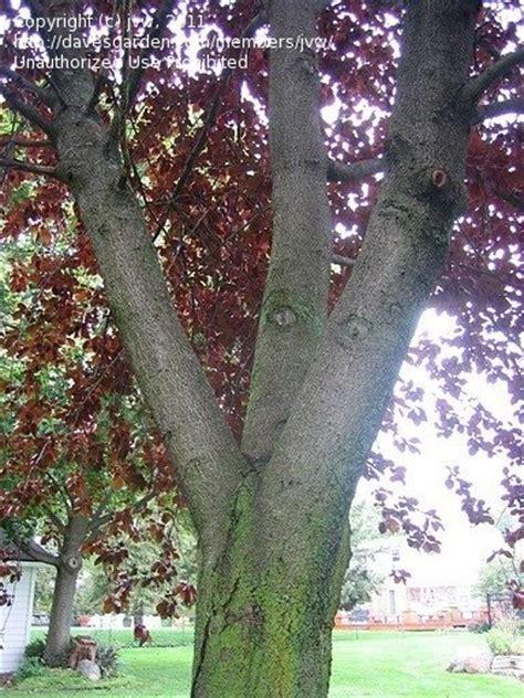 purple leaf trees identification plant identification closed purple leaf tree id 1 by jvw