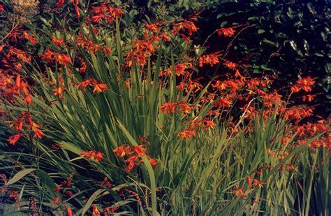 Gartenmontbretie  Garten Wissen