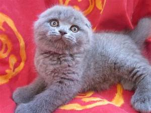 scottish fold kittens in hoobly classifieds With what kind of paint to use on kitchen cabinets for tiffany and co crystal candle holders