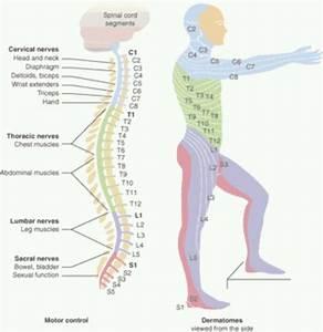 Dermatoma | Fisioterapia | Pinterest