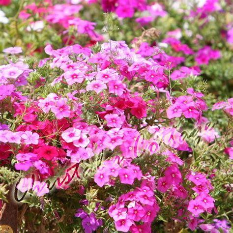 wildflower bulbs mixed pink colour phlox perennial garden roots plants wildflower gardening bulbs ebay