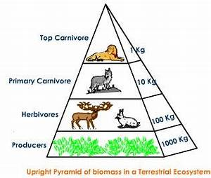Ecological Pyramid   Pyramid of Numbers with Diagram ...