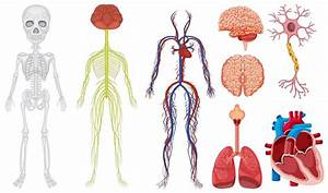 Different System In Human Body