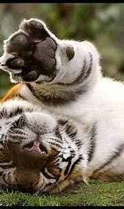 Tigre   Gorgeous cats, Wild cats, Amazing animal pictures