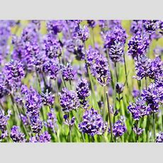 Fragrant Plants  Name That Plant