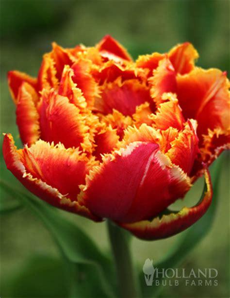tulip bulbs item 1803 fringed crystal beauty fringed double late tulip