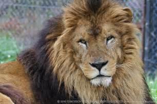 ライオン:ライオンの生態|野生動物 ...