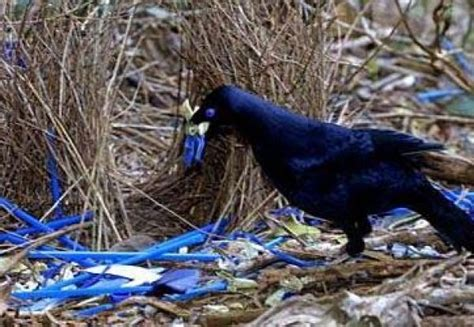 bird decorates nest male satin bowerbirds decorate their intricate bowers with mainly blue items flowers feathers