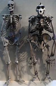 Human Skeleton vs Gorilla Skeleton - The Skull Appreciaton