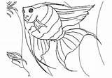 Coloring Fish Pages Angel Angelfish Printable Predators Ambush sketch template