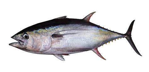tuna fish fishsource yellowfin tuna indian ocean