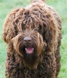 large non shedding dog new dog breeds dog breeds picture