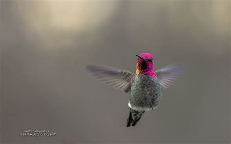 hummingbird desktop hd birds  wallpapers images