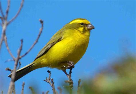 fotos hd de canarios fotosdelanaturalezaes