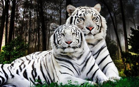 white tiger pair desktop backgrounds computer