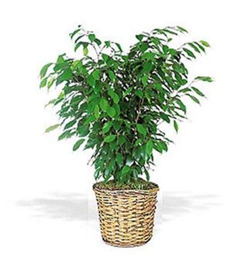 plante verte bureau la plante verte de bureau certifié utilisable le