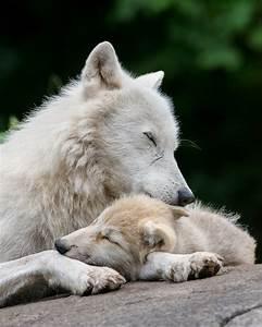 Bébé Loup Blanc : wolf siesta by maxime riendeau on 500px fox and wolves ~ Farleysfitness.com Idées de Décoration
