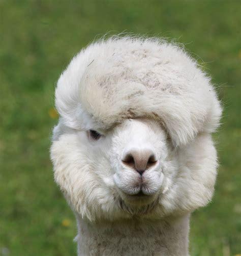 Welches Tier Liefert Die Hochwertige Kaschmirwolle by Welches Tier Liefert Die Hochwertige Kaschmir Wolle