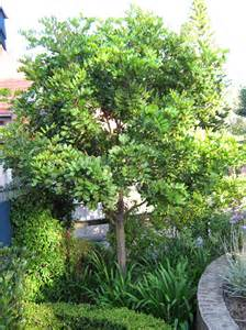 tuckeroo this is a great all evergreen tree with flushes of bright glowing new growth