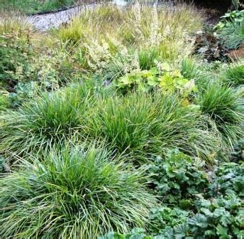 Ggw Plant Pick Of The Month Sesleria