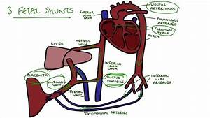 Schematic Diagram Of Fetal Circulation