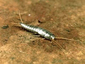 silverfish description behaviour britannicacom With silver worm in bathroom