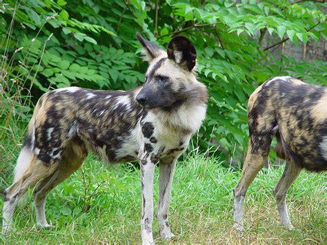 African Wild Dog Wikifur The Furry