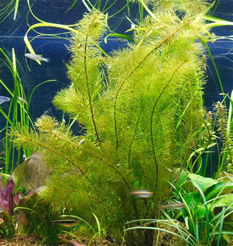 water plants for aquarium water milfoil myriophyllum species aquarium plant care and plant pictures