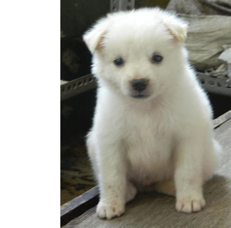 pomeranian puppies  salemano  dogs  sale