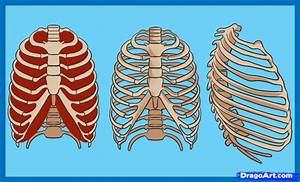 Rib Cage Diagram With Organs
